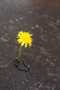 Dandelion, Poem by Jack Thompson